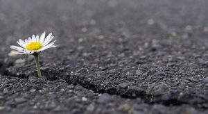 Daisy in crack pavement